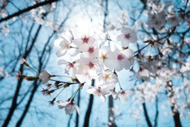 もうすぐ桜が咲きますね
